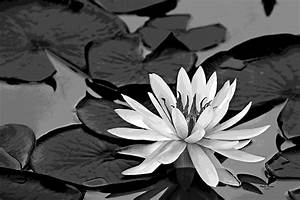 Water Lily Black And White Photograph by Phyllis Denton