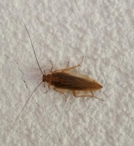 insectes cuisine ectobius photo tipus galerie insecte org