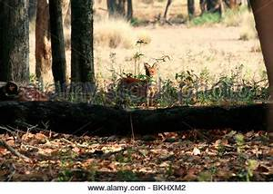 Asian Wild Dog or Dhole (Cuon alpinus) running through ...