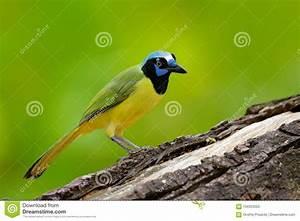 Oiseau Jaune Et Bleu : oiseau jaune chef bleu noir nature sauvage faune mexique geai vert yncas de cyanocorax ~ Melissatoandfro.com Idées de Décoration