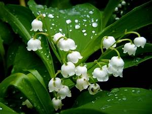 Fully Bloomed Lily Of The Valley