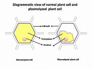Cavalierbiology4  Licensed For Non  Plasmolysis Lab Conclusion