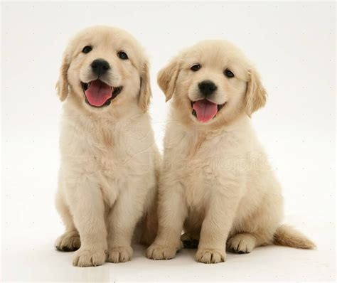 Very Cute Golden Retriever Baby Dog Puppies For Wallpaper