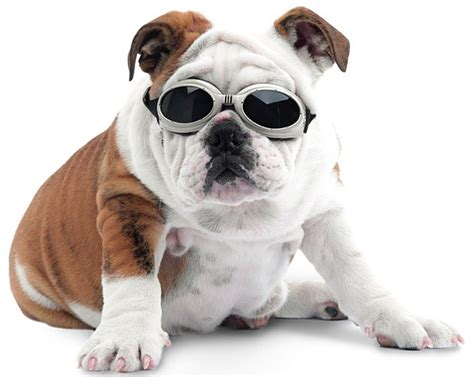 39 Best Ideas About Doggles On Pinterest Chihuahuas