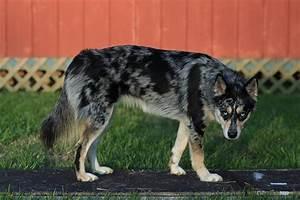 Husky Heeler mix | Dogs & Cats | Pinterest | Husky, Dog ...