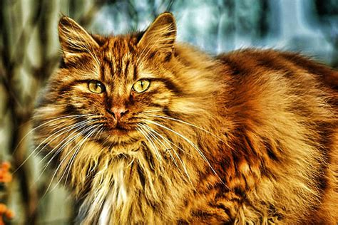 beautiful long haired cat breeds