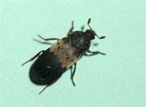 Larder Beetle In Bedroom by Brown Bugs In My House Creatopliste