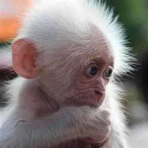 Baby Albino Monkey... Very cute!! | Amazing Adorable ...