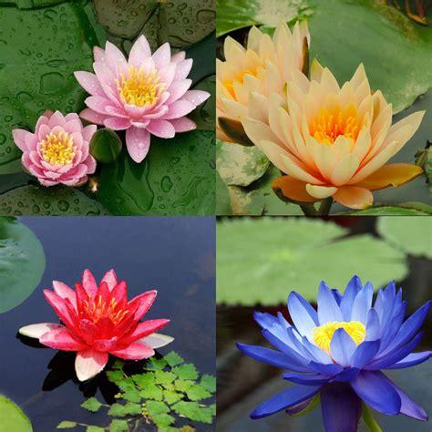 lotus flower colors 10 seeds 4 color mix bowl lotus flower seed water aquatic