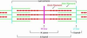 File Sarcomere Diagram Svg