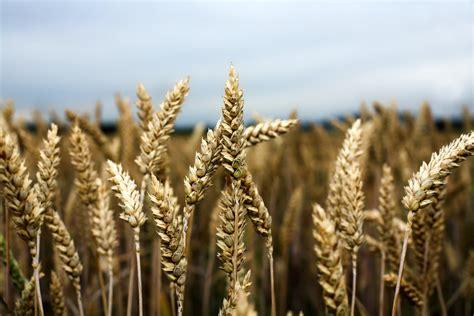 Disease immune wheat, pests threat, climate change, aflatoxins