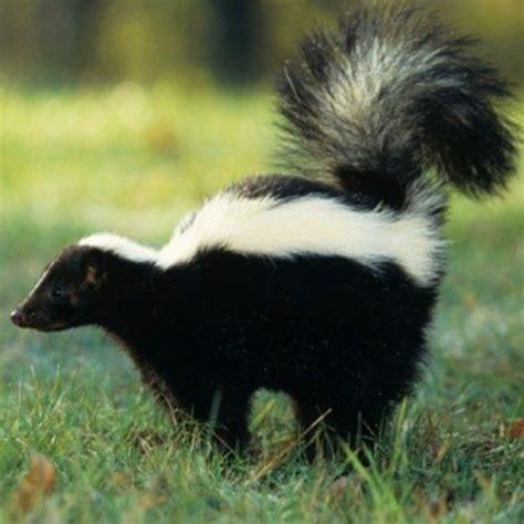 skunk kill rabid skunks masslive spray et ware go skunked country