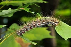 Gypsy Moth In Indiana From Purdue Entomology