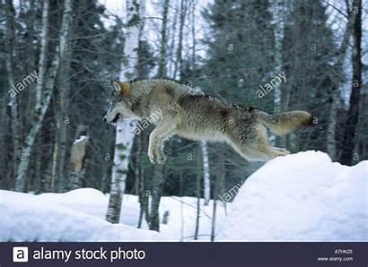 Jumping Wolf Alamy Timber Gray Rock