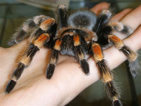 pet tarantula exotic pets that you can legally own in most places capybara guff