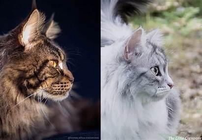 Siberian Maine Coon Comparison Vs Left Cats