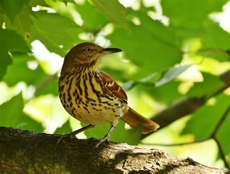 birds brown thrasher