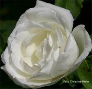 Alte Rosensorten Stark Duftend : rosensorten duftrosen lou louis xiv bonaparte de ~ Michelbontemps.com Haus und Dekorationen