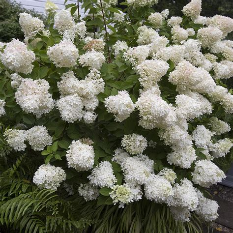 how to shape shrubs pruning non flowering shrubs life style by modernstork com