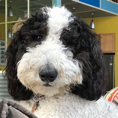 Sheepadoodle Ollie Dog Sweet Face Hounds Spoiled