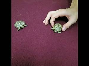 Our Baby Russian Tortoises - YouTube