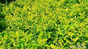 How To Grow  U0026 Care Dutanta Golden Plant  Hindi