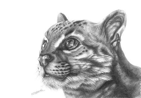 wild cat pencil drawing cjcoates drawings