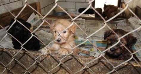 dogs rescued  michigan puppy mill dogtime