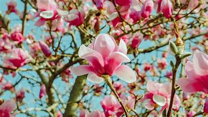 Magnolia Flowers Pink Bloom Tree Background Uhd