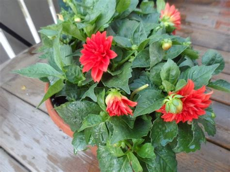how to grow dahlias in pots with pictures wikihow