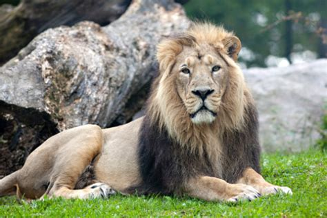 Asiatic Lion Panthera Leo Persica Also Known As