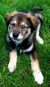 Golden Retriever Husky Mix Puppies for Sale