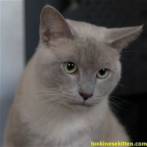 Low Shed Breeds by Low Shedding Cat Breeds Breeds Picture