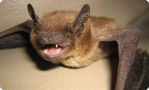 colonizing bats of florida brazilian free tail and
