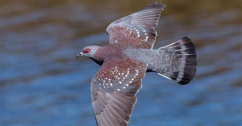 vernon chalmers photography pigeon  flight woodbridge