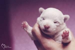 Image Gallery Newborn Maltese