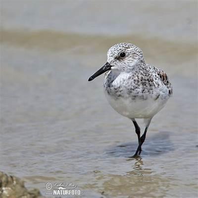 Sanderling Photos Images Nature Wildlife