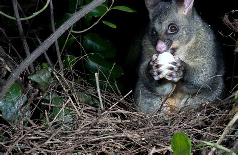 animal possum pests nz pest control eating egg bird threats predator hills port methods wildlife field govt doc nature native