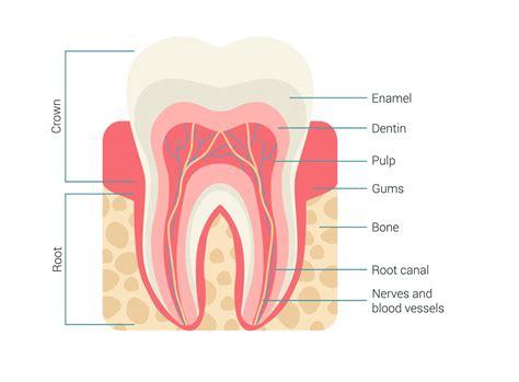 Charts Sample Baby Teeth Growth Chart7 Baby Teeth Growth