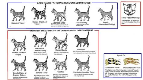 tabby cat colors tabby types stuff cat colors cats spotted cat