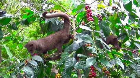 best coffees in the world the producer of best coffee in the world the civets