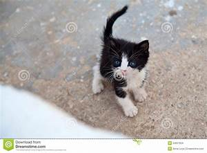 Very Little Black And White Kitten With Blue Eyes Cocked ...