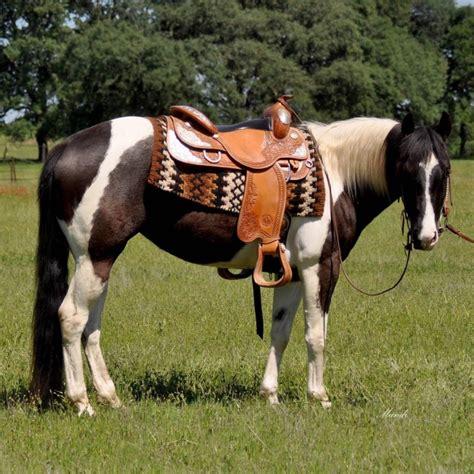 paint horse horses angel quarter cool shinning california localhorse apha reining cow ads