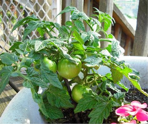 best container garden vegetables