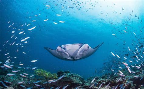berenang bersama ikan pari manta   tempatnya