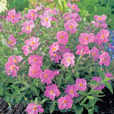 summer flowering plants summer flowering collection trees and shrubs flowers garden dobies