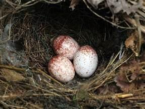 Carolina Wren Eggs Look Like