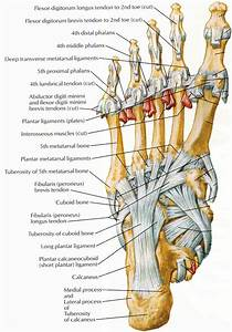 Feet Tendons  U0026 Ligaments
