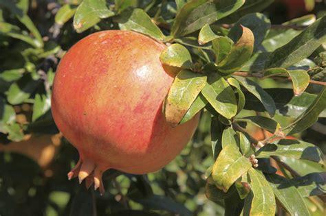 Pomegranate Leaf Problems - Information On Treating ...
