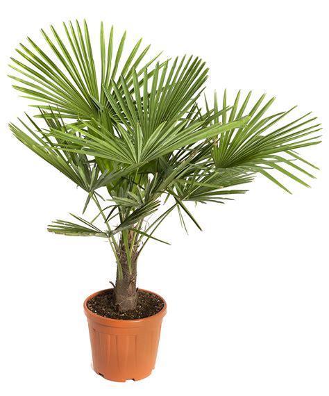 comment choisir cuisiniste entretien palmier en pot 28 images palmier chanvre en